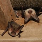 Bats in Your Loft